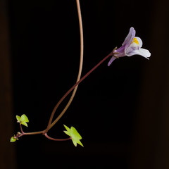 Ivy-leaved toadflax (beaconschris5050) Tags: