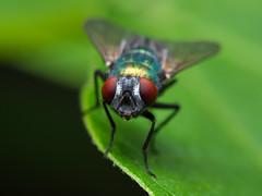 Fly (olyjan) Tags: macro olympus makro insect insekt animal tier animals tiere m43 mft em10markii 60mmf28