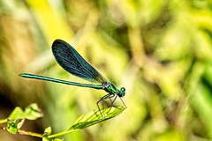 Beautiful Demoiselle (Male) (Kevin_Barrett_) Tags: dragonfly damselfly insect macro green nature life wings