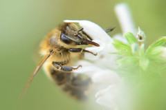 Tuinsafari (l-vandervegt) Tags: 2019 nikon d3200 tamron nederland netherlands holland niederlande paysbas overijssel twente almelo tuinsafari gardensafari insect insekt macro closeup honingbij