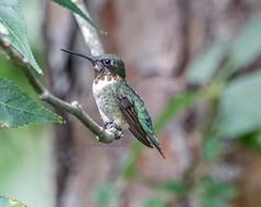 Ruby-throated Hummingbird (backyardzoo) Tags: 20190805 bird hummingbird limb rubythroated tree