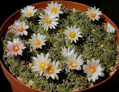 Turbinicarpus roseiflorus v. albiflorus (Resenter89) Tags: cactus cacti cactaceae succulente piante grasse kakteen turbinicarpus klinkerianus seedlings 2 years old flowering group