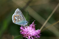 Common Blue Butterfly, closed wing shot. Explored (claylaner) Tags: butterfly commonblue polyommatusicarus lepidoptera lycaenidae macro burdock insect ngc