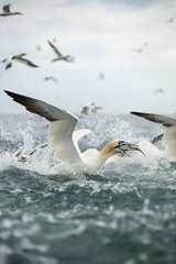 Gannets (Thomas Winstone) Tags: gannet gannets canonuk canon 300mm28mk2 birds aves uk bird shorebird outdoors wildlife nature wildbirds waterbirds countryside outdoor avian coast coastal gitzo thomaswinstonephotography bbc springwatch bbcspringwatch nationalgeographic sea water feathers
