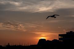 The Last Flight (NathalieSt) Tags: coucherdesoleil europe france hérault lagrandemotte languedocroussillon occitanie nature nikon nikond750 nikonpassion nikonphotography sunset bird oiseau goeland seagull silhouette backlight