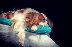 Pensieri (Pepenera) Tags: dogs dog cane cani cavalier cavalierkingcharlesspaniel fotografia foto pets portrait photography petsphotography canon eos