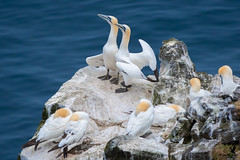 Northern Gannets (Osprey-Ian) Tags: iceland northerngannet langanespeninsula