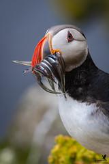 How many fish? - Atlantic puffin (Osprey-Ian) Tags: atlanticpuffin iceland puffinwithfish