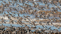 (c)WMH_2019_08_05 Peeps at The Guzzle (WesleyHowie) Tags: birds canada grandpre location novascotia sandpiper theguzzle wildlife