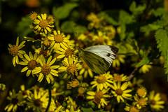Nature (ost_jean) Tags: nature butterfly nikon d5200 tamron sp 90mm f28 di vc natuur vlinder papillon macro closeup