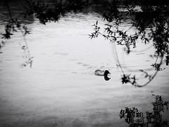 GFX1681 - Duck (Diego Rosato) Tags: duck anatra papera oca canard lago lake posta fibreno natura nature fuji gfx50r fujinon gf110mm rawtherapee bianconero blackwhite