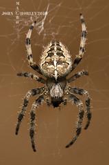 Garden Cross Spider (John Chorley) Tags: orbspider spider spiders arachnid gardencrossspider nature johnchorley macro macros macrophotography closeup closeups 2019 n