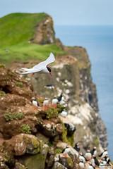 The Soaring Tern (Osprey-Ian) Tags: grimseyisland arctictern atlanticpuffin iceland