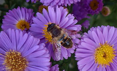 A Drone Fly Attracted to Purple (Lani Elliott) Tags: homegarden garden nature naturephotography flower daisy easterdaisies aster purple petals wings fly dronefly macro upclose close closeup bokeh introducedspecies eristalistenax colour colourful bright light