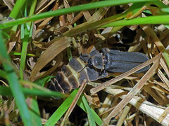 Glow-worms Lampyris noctiluca (Simon Grove) Tags: lampyrisnoctiluca coleoptera lampyridae