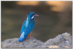 7D2_9676 (Marc Jarry) Tags: martinpêcheur oiseau faunesauvage