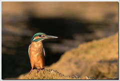 7D2_9647 (Marc Jarry) Tags: martinpêcheur oiseau faunesauvage