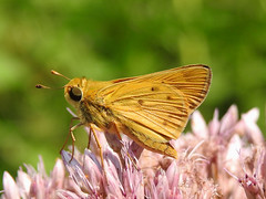 Fiery Skipper (Male) - Hylephila phyleus (annette.allor) Tags: hylephilaphyleus grass butterfly insect male joepyeweed skipper