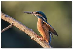 7D2_9681 (Marc Jarry) Tags: martinpêcheur oiseau faunesauvage