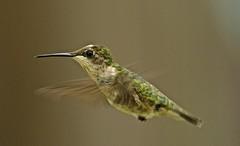 Hummingbird (deanrr) Tags: bird hummingbird 2019 morgancountyalabama alabama flying nature outdoor