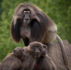 Der Häuptling und seine Frauen (sigridspringer) Tags: natur tiere primaten dscheladas blutbrustpavian säugetiere tierpark friedrichsfelde