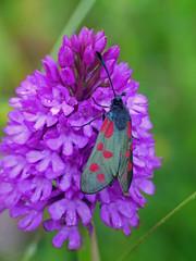 Six-spot burnet-moth Zygaena filipendulae (Simon Grove) Tags: lepidoptera zygaenidae zygaenafilipendulae
