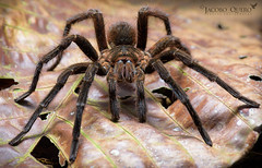 Tarántula (Pamphobeteus sp.) (Jacobo Quero) Tags: pamphobeteus spider tarantula arachnid wildlife animal nature amazon ecuador amazonía naturaleza nikon