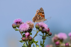 Photo of Painted Lady Butterfly