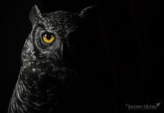Búho de virginia andino/ Andean great horned owl (Bubo virginianus nigrescens) (Jacobo Quero) Tags: bubovirginianus búhodevirginia greathornedowl bird raptor rapaz avedepresa owl nature naturaleza wildlife ecuador