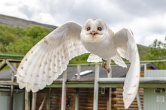 Barn Owl (kiryeti) Tags: burren bird prey centre ailwee cave ireland county clare