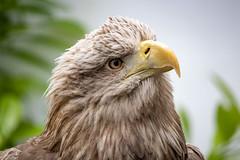 White tailed sea eagle (kiryeti) Tags: burren bird prey centre ailwee cave ireland county clare