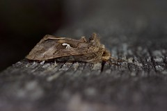 Noctuelle gamma (autographa gamma) (pierre.pruvot2) Tags: hautsdefrance maraisdeguînes chemindestêtards panasonic leica lumixg9 papillon insecte moth arthropode butterfly