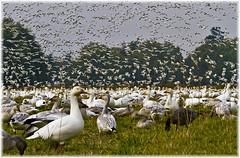 Migrating Snow Geese (Sigi Deczki) Tags: