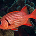 Bigscale Soldierfish - Myripristis berndti