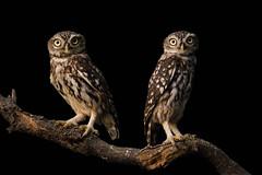 1908_brinzal_265.jpg (biggeroski) Tags: athenenoctua aves brinzal birdwatching birds mochuelocomún madrid домовыйсыч littleowl casadecampo rapacesnocturnas