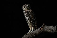 1908_brinzal_254.jpg (biggeroski) Tags: athenenoctua aves brinzal birdwatching birds mochuelocomún madrid домовыйсыч littleowl casadecampo rapacesnocturnas