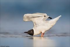 Bonaparte's Gull Wing Stretch (Daniel Cadieux) Tags: gull bonapartes breedingplumage stretch wingstretch ottawariver ottawa