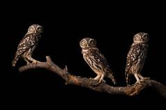 1908_brinzal_260.jpg (biggeroski) Tags: athenenoctua aves brinzal birdwatching birds mochuelocomún madrid домовыйсыч littleowl casadecampo rapacesnocturnas