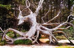 Twisted (jeandelalune) Tags: twisted tree shore acres state park oregon coast