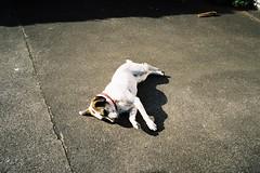 Tired Dog (bigalid) Tags: film 35mm yashica mf2 super may 2019 lomography100cn c41 dumfries dog