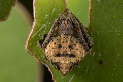 Emoji spider (zosterops) Tags: arachnida spider australia queensland cairns macro canoneos6d araneus
