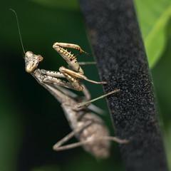 Mantis 1 (StrangeCharmDesign) Tags: mantis mantid carolinamantis stagmomantis stagmomantiscarolina insect garden botanicalgarden huntsville huntsvillebotanicalgarden alabama macro closeup antenna nature leaf leaves
