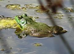 Tuesday's frog (EcoSnake) Tags: americanbullfrog lithobatescatesbeiana frogs amphibians water wildlife sunshine heat summer august idahofishandgame naturecenter