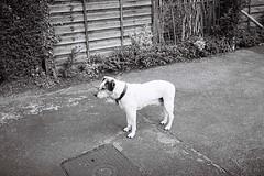 Dog on Watch (bigalid) Tags: film 35mm yashica mf2super 2019 may ilford xp2 c41 bw dumfries dog