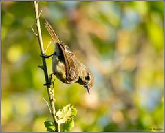 Vireo 4417 (maguire33@verizon.net) Tags: vireo huttonsvireo bird wildlife vireohuttoni