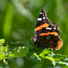 Admiral (Rainfire Photography) Tags: admiral butterfly ontario nature whitby nikon d850 summer