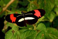 Heliconius erato phyllis (Fabricius, 1775) Nymphalidae Subfamília Heliconiinae (robertoguerra10) Tags: heliconius erato phyllis