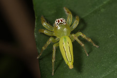 Northern Green jumping spider (zosterops) Tags: arachnida spider salticidae australia queensland cairns macro canoneos6d mopsusmormon