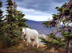 Hidden Lake Mountain Goat (Kailynn D) Tags: adventureglaciernationalparkgnp2018girlsonlyseptembermo adventureglaciernationalparkgnp2018girlsonlyseptembermontana gnp glacier national park montana mountain goat glaciernationalpark 2018 september