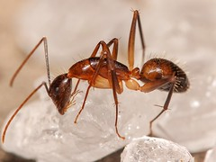 Carpenter Ant (Arvind_S) Tags: colors ant closeup cannon macro insect wild nature ngc